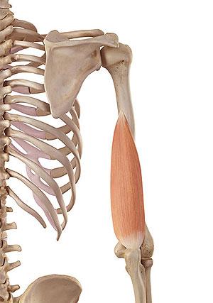 上腕三頭筋|内側頭(短頭)