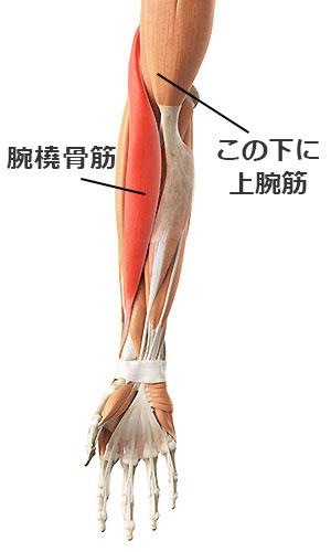 インクラインダンベルカールで鍛えられる上腕二頭筋・上腕筋・腕橈骨筋