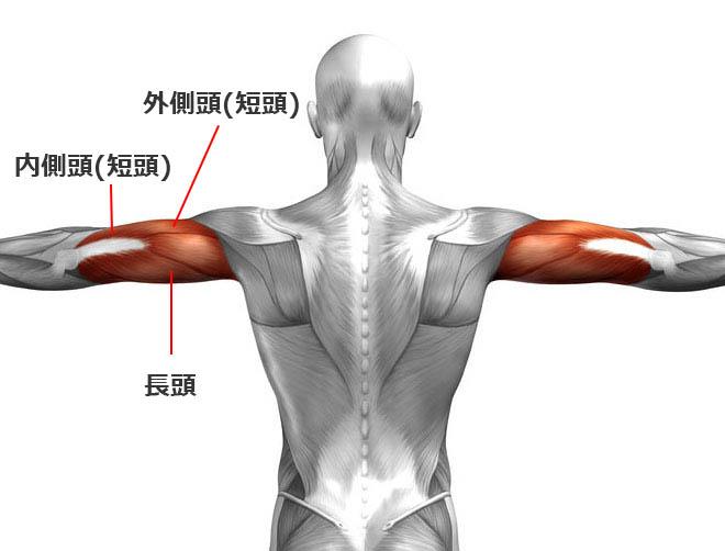 上腕三頭筋の動きと構造とは?