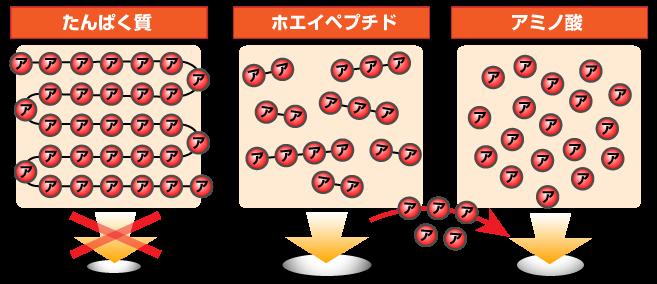 吸収スピードは同じでも、吸収量が多いのがホエイペプチドです。