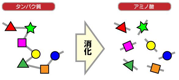 アミノ酸分解